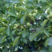 9792478-Walnut-tree-heavily-laden-with-green-Walnuts-Stock-Photo