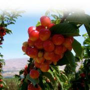 Cherry-my16