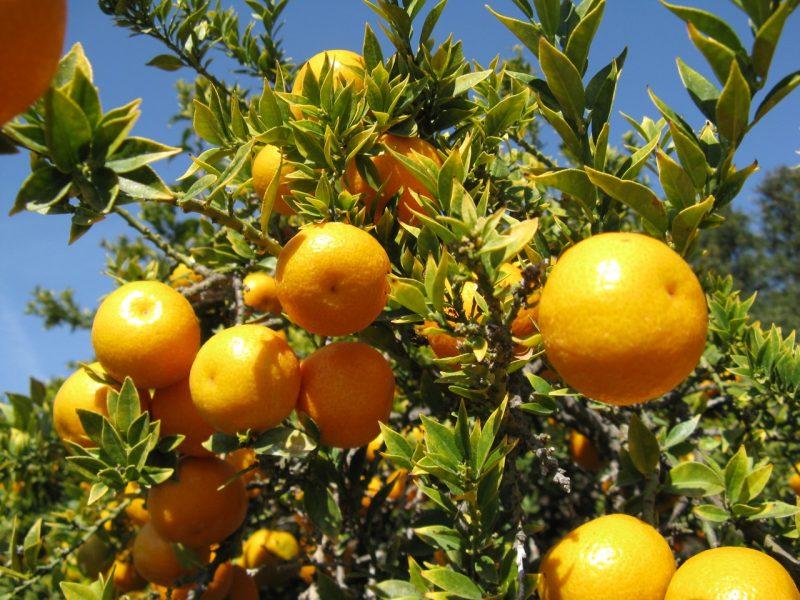 Citrus_myrtifolia_2