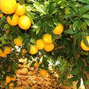 Gozitan_oranges_Alain_Salvary